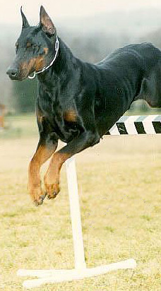 From an article by The Doberman Pinscher Club of Chicago -Land